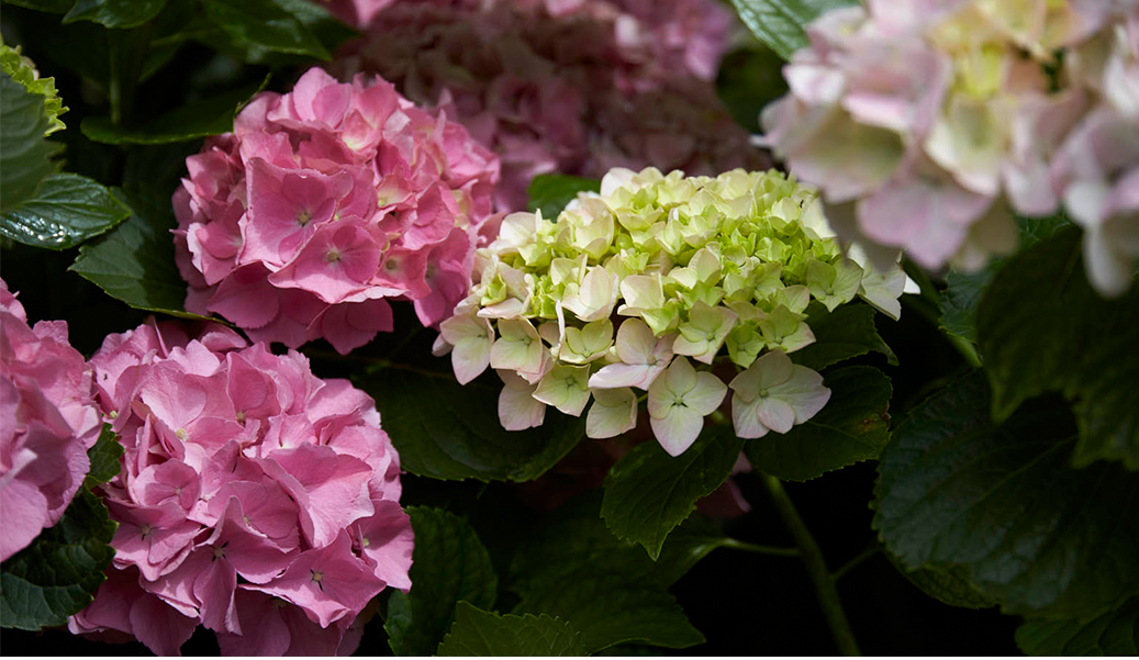 A selection of garden images including pink and green hydrangas