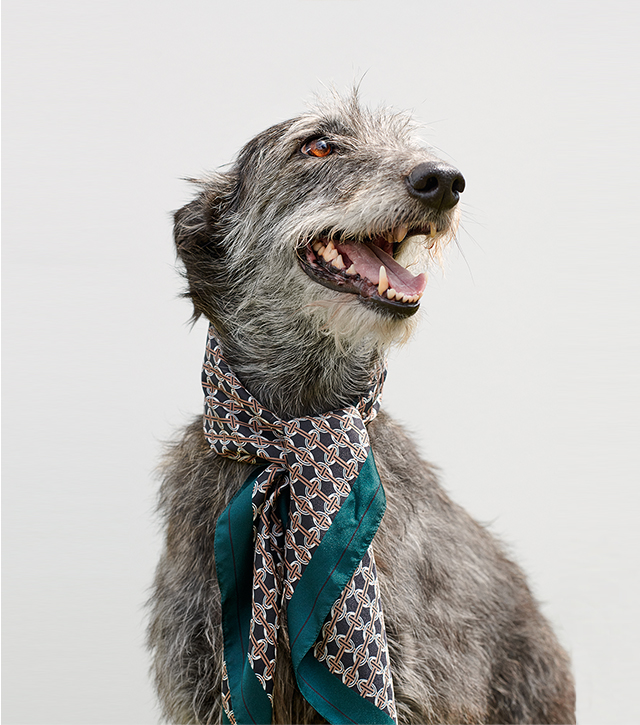 Image of a grey dog wearing a silk green scarf