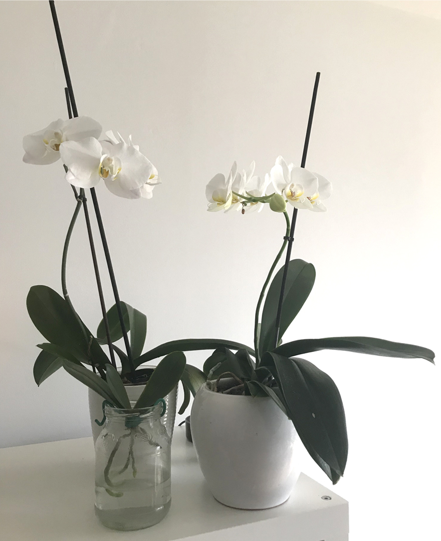 Two white orchids sit in pots at home