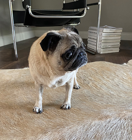 Jason's pet Pug, Mini