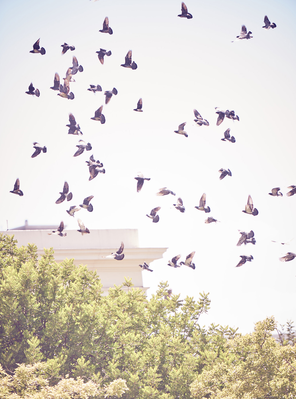 A flock of birds fly above green tree tops